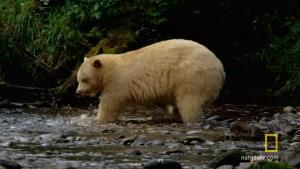 Spirit Bear Salmon Feast photo