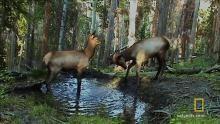 Yearly Elk Brawl show