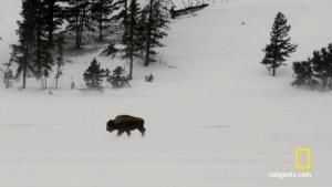 Bison in Harsh Winters 照片