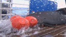 Landing a Tiger Shark show