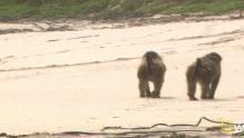 Beachside Baboons show