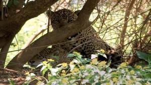 Jaguar Mating photo