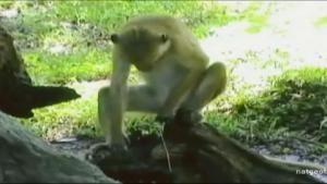 Semen Slurping Macaque photo