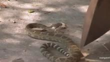 Zombie Snake show