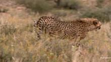 A Cheetah's Ambush show