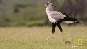 The Strange Secretary Bird photo