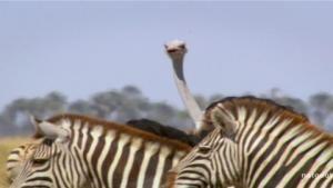 Killer Ostrich photo