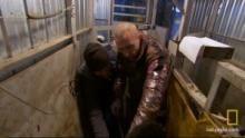 Vinnie Inseminates a Cow show