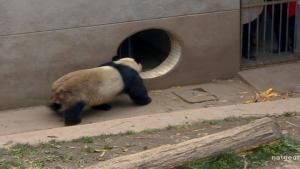 Panda Mating photo