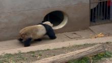 Panda Mating show