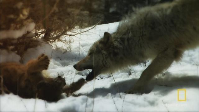 nowe wydanie uroczy kolejna szansa Watch Cougar V. Wolf Videos Online - National Geographic ...