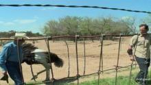 Wrestling an Ostrich show