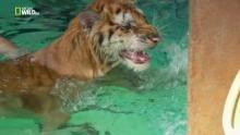 Non tutti i felini odiano l'acqua programma