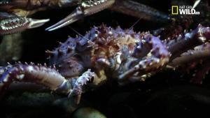 Il granchio gigante della Kamchatka foto