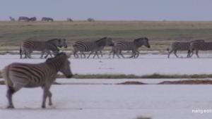 Determined Little Zebra photo
