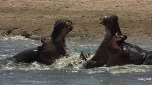 Hippo Mash Up photo