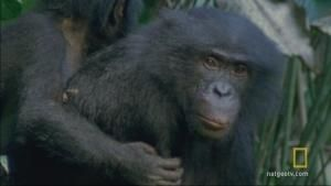 Bonobo Drama photo