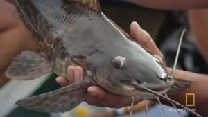 Predator Catfish photo