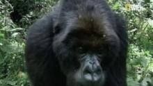 Il regno delle scimmie - Il re Gorilla programma