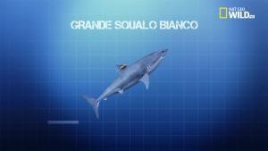 Il grande squalo bianco foto