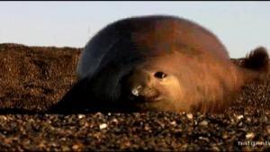 Orca vs. Elephant Seal photo