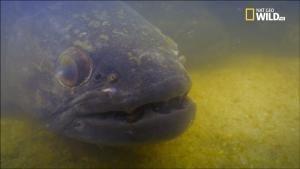 Monster Fish - Il pesce lupo gigante foto
