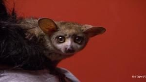 Bush Baby Mistaken Identity photo
