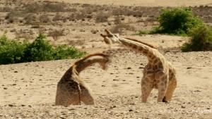 Giraffes Come Out Swinging! photo