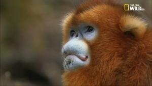 La leggenda delle scimmie dorate foto