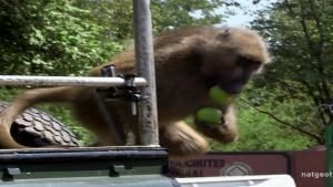 Thieving Baboons photo