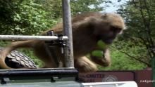 Thieving Baboons show