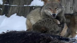 Chernobyl Wolf Pack photo