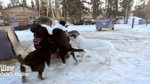 Behind the Scenes: Rowdy Sled Dog Pups photo