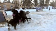 Behind the Scenes: Rowdy Sled Dog Pups show