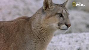 Puma: sovrani delle Ande foto