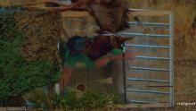 Wildebeest Puke show