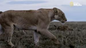 Un lavoro da leonesse foto