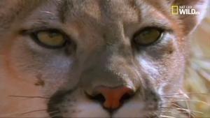 Gli ultimi paradisi: il leone di montagna foto