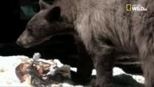 Il ritorno degli orsi neri programma