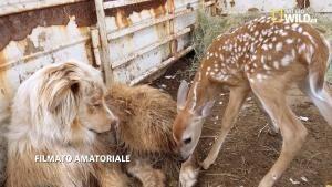 Cerbiatto e cane: la strana coppia. foto