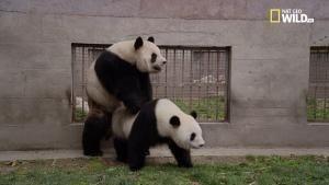 La riproduzione dei Panda foto