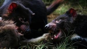 Tasmania: l'isola del Diavolo foto