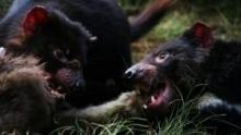 Tasmania: l'isola del Diavolo programma