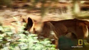 Kangaroos vs. Dingos photo
