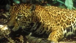 I predatori dell'Amazzonia foto