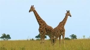 Giraffe Fight: Neck And Neck Battle photo
