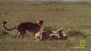 A Cheetah Brawl 照片