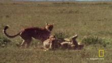 A Cheetah Brawl 節目