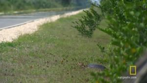 Everglades Egg Bandit photo
