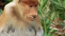 The proboscis monkey show